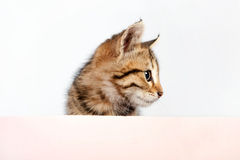 Kitten with blank Royalty Free Stock Photo