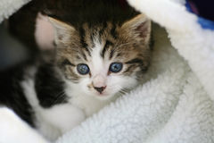 Kitten in a blanket. Cute 4 week old tabby kitten looking out from it's warm woolly blanket royalty free stock image