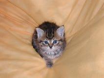 Kitten in a Blanket. Tabby kitten in a blanket Royalty Free Stock Image
