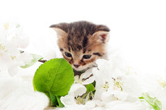 kitten and a blossoming apple Stock Photography