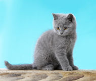 Kitten on blue background Stock Photos