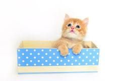 Kitten in blue dot box Royalty Free Stock Images
