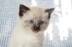 Kitten with blue eyes Stock Images
