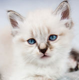 A kitten with blue eyes Stock Photography