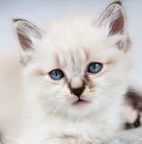 A kitten with blue eyes. Portrait of a kitten, peeling clear, blue eyes stock photography