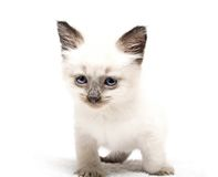 Kitten with blue eyes. Cute little kitten with blue eyes Royalty Free Stock Photo