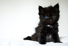 Kitten with blue eyes royalty free stock photography