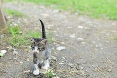 Kitten with blue eyes walking on a trail. A small kitten walking on a trail Royalty Free Stock Photos