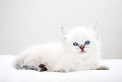 Kitten with blue eyes Stock Photos