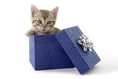 Kitten in a blue gift box. Kitten (5 weeks) in a blue gift box Royalty Free Stock Image