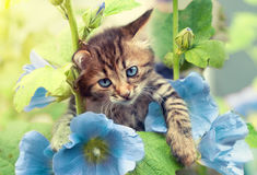 Kitten with blue mallow flowers. Portrait of cute kitten in the garden with blue mallow flowers Stock Photos