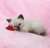 Kitten with book lying on pink background Stock Photos