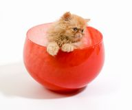 Kitten in a bowl. Playful orange Himalayan kitten in a red glass bowl stock image