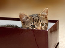 Kitten in Box Stock Image