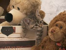 Kitten in box. Grey kitten in box with teddy bears that are light brown and dark brown Stock Photography
