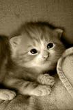 Kitten in a box sepia Royalty Free Stock Photo