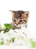 kitten with a branch of apple blossoms Stock Images