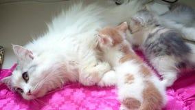2 Kitten are breastfeeding. Footage taken on 2015 stock footage