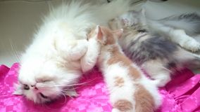 2 Kitten are breastfeeding. Footage taken on 2015 stock video footage