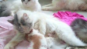 Kitten is breastfeeding.shoot footage in 4k. Kitten is breastfeeding..footage taken on 2015 stock video