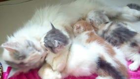 3 Kitten is breastfeeding.shoot footage in 4k. 3 kitten is breastfeeding..footage taken on 2015 stock footage