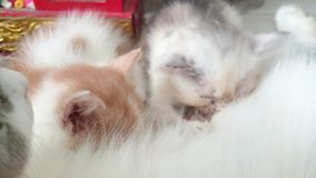 2 Kitten are breastfeeding.shoot footage in 4k. 2 kitten are breastfeeding..footage taken on 2015 stock video footage