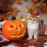 The kitten  breed British shorthair, Golden Chinchilla color,  sits next to an orange pumpkin on a background of autumn leaves. Halloween celebration stock image