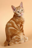 Kitten (breed - kurilian bobtail) Royalty Free Stock Images