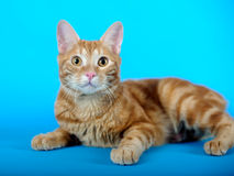 Kitten (breed - kurilian bobtail) Stock Images