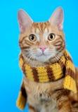 Kitten (breed - kurilian bobtail) Stock Images
