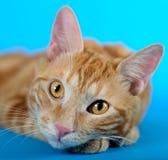 Kitten (breed - kurilian bobtail) Royalty Free Stock Photo