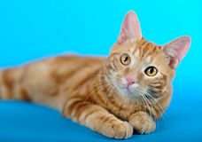 Kitten (breed - kurilian bobtail) Royalty Free Stock Photos