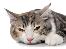 Kitten (breed - kurilian bobtail) Stock Photography
