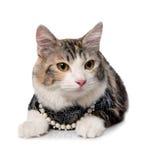 Kitten (breed - kurilian bobtail) Stock Photos