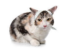 Kitten (breed - kurilian bobtail) Royalty Free Stock Photography