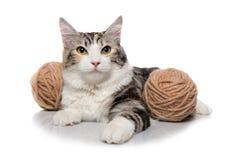 Kitten (breed - kurilian bobtail) Stock Photo