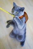 Kitten breed Scottish standing Stock Photos