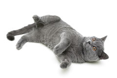 Kitten (breed Scottish Straight, age 6,0 months) on a white back Royalty Free Stock Images