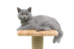 Kitten breed Scottish Straight on white background Royalty Free Stock Photo