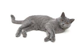 Kitten breed Scottish Straight on a white background Royalty Free Stock Photos