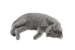 Kitten (breed Scottish Straight) on a white background Royalty Free Stock Photos
