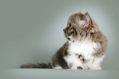 Kitten of breed Selkirk Rex grey-white color on gray background Royalty Free Stock Photo