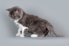 Kitten of breed Selkirk Rex grey-white color on gray background Royalty Free Stock Photos