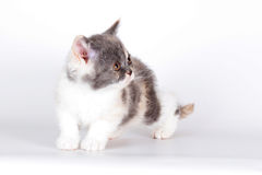Kitten of breed Selkirk Rex tricolor color on a light gray backg Royalty Free Stock Photos