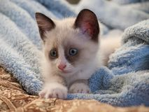 Kitten breed snowshoe, two monthes stock photography