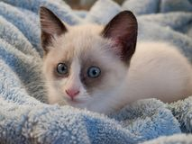 Kitten breed snowshoe, two monthes. Little kitten with blue eyes, breed Snowshoe Royalty Free Stock Photo
