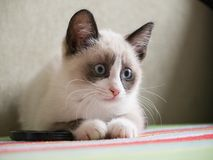 Kitten breed snowshoe, two monthes. Little kitten with blue eyes, breed Snowshoe Stock Photography