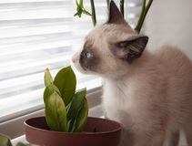 Kitten breed snowshoe, two monthes, sniff plant. Little kitten, breed Snowshoe, sniff home plant Stock Photo