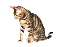 Kitten breed toyger Royalty Free Stock Image