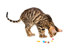 Kitten breed toyger playing with colorful candy. Stock Photo